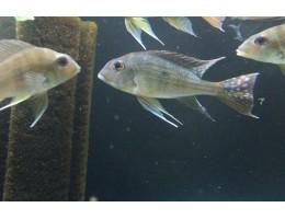 Геофагус Альтифронс (Geophagus altifrons) 12-15 см.