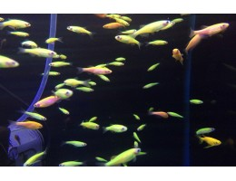 Данио Гло Фиш Желтый,зеленый 3 см.