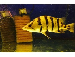 Тигровый окунь (Datnioides quadrifasciatus) 18 см.