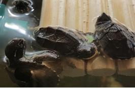 Черепаха мускусная 4 см.