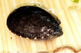 Черепаха пенсильванская замыкающая 3-4 см.